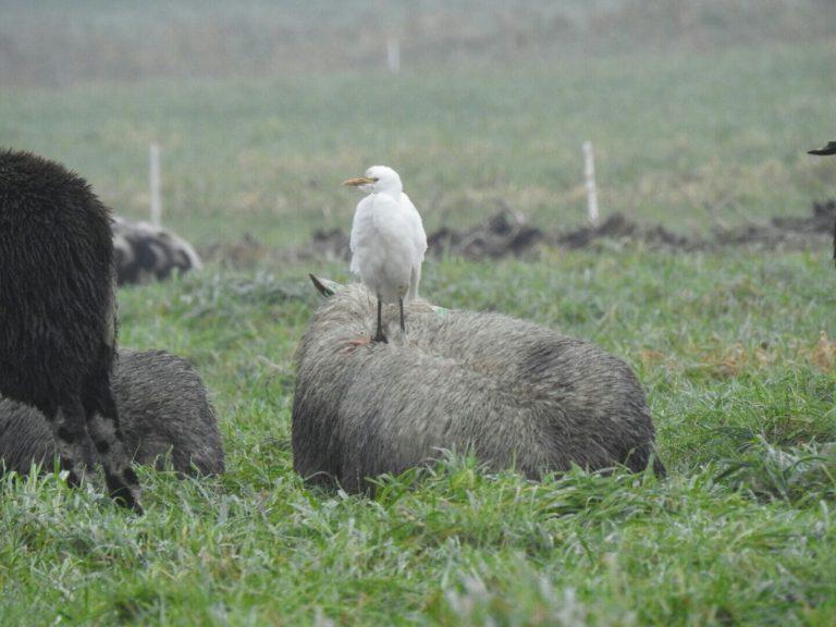 Zeldzame Koereiger strijkt neer op schaap in Moordrecht
