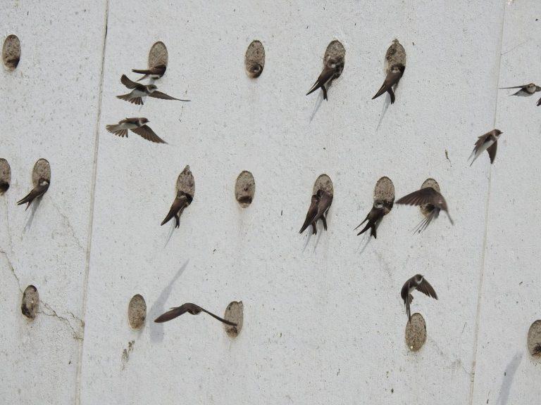 Opening oeverzwaluwwand bij Zevenhuizerplas met natuurexcursie
