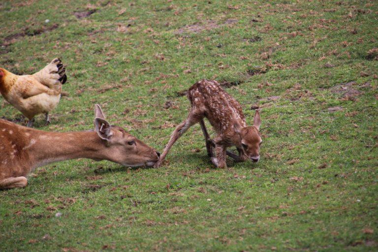 Omstander vist pasgeboren Bambi uit water Hertenkamp