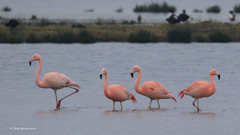 Flamingo's gespot in Zevenhuizen