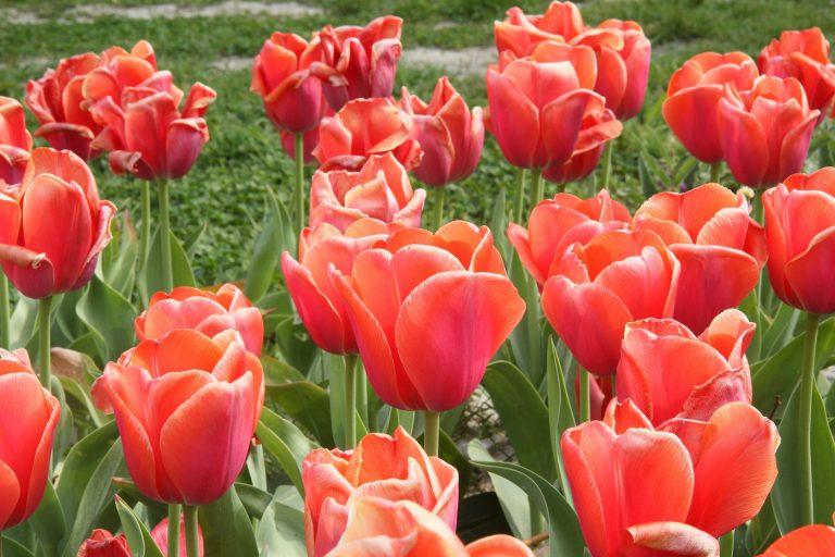 Oranje tulpen in de Hennipgaarde in kader 75 jaar vrijheid