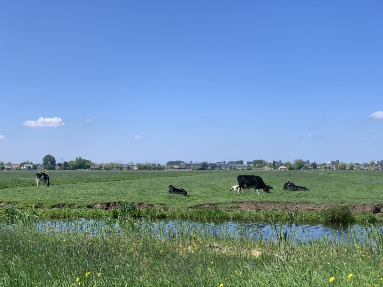 Koeien op Hitland