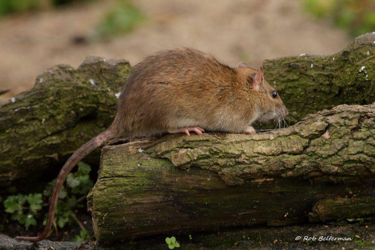 Geurpalen moeten rattenoverlast in Zuidplas stoppen