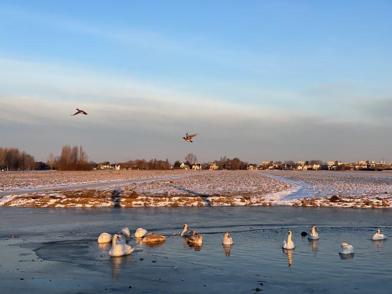 Zwanen en eenden te water met ijs rondom
