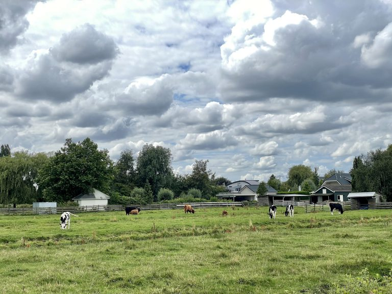 Koeien en Hooglanders