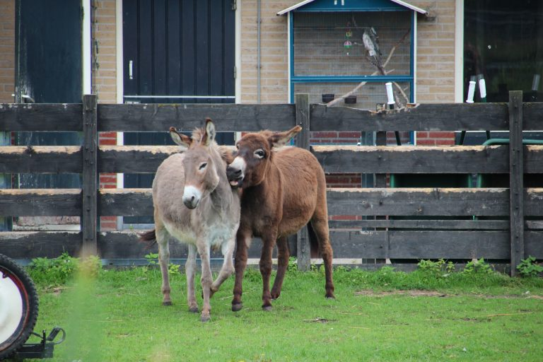 Ezeltje prik of beestachtige discussie over dierenwelzijn in Zuidplas